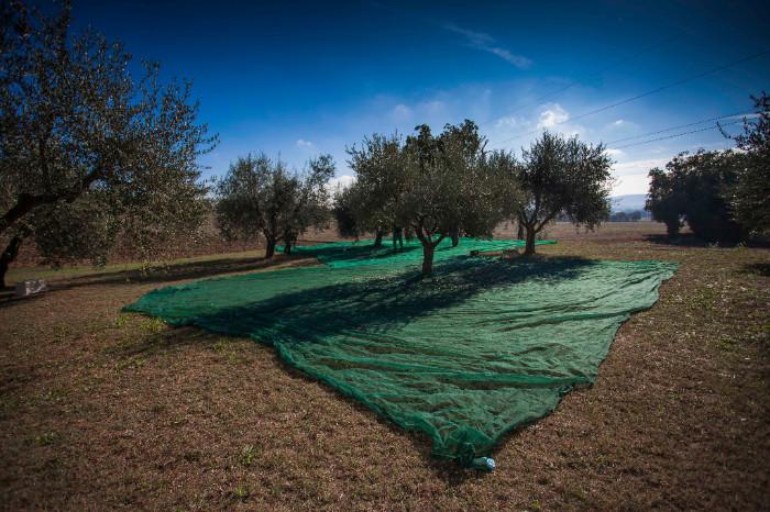 Olive harvesting Olio Poldo