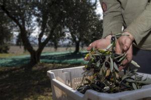 raccolta delle olive olio poldo